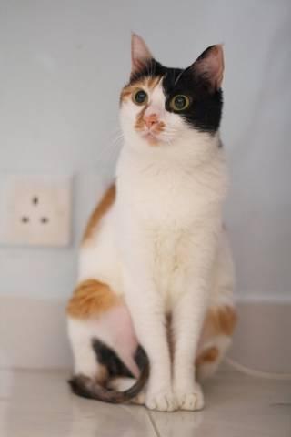 kucing tricolor 3 warna