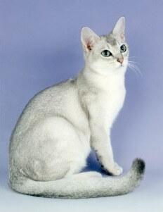 Kucing warna efek tipped