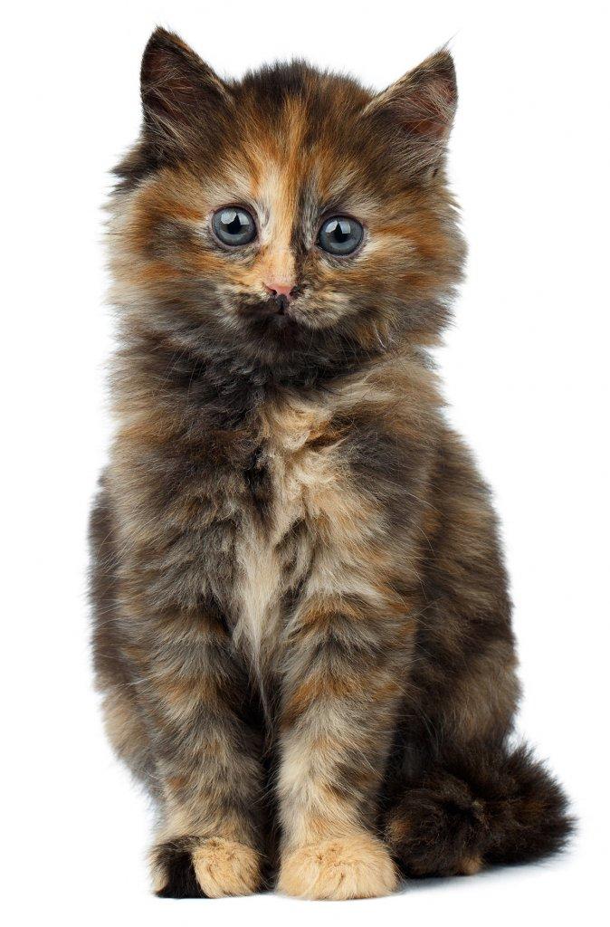 kucing warna tortoiseshell