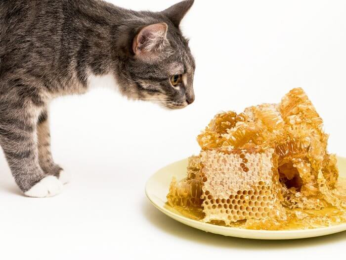 madu untuk kucing