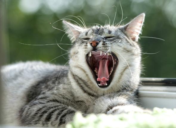 penyakit gigi kucing