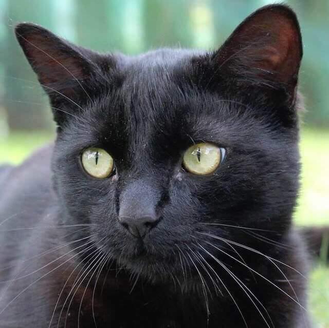 perubahan warna bulu kucing hitam