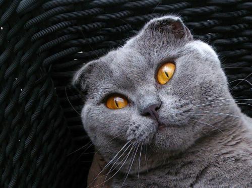 Kucing Scottish Fold Harga Terbaru Ciri Fisik Cara Merawat