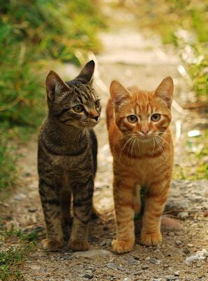 warna bergaris /  tabby kucing