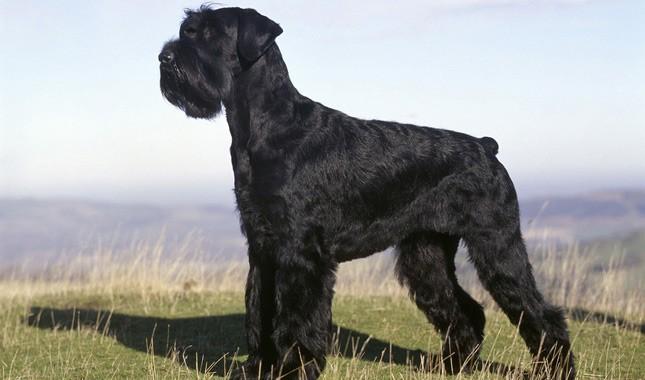 Anjing Giant Schhnauzer