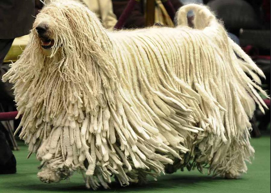 anjing Komondor