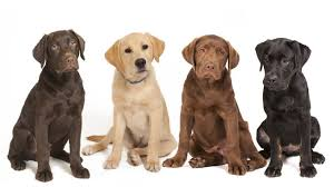 anjing labrador