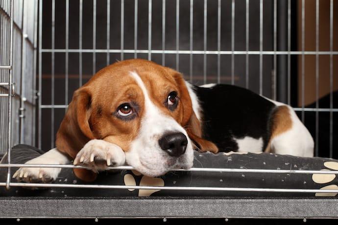 anjing bosan di kandang