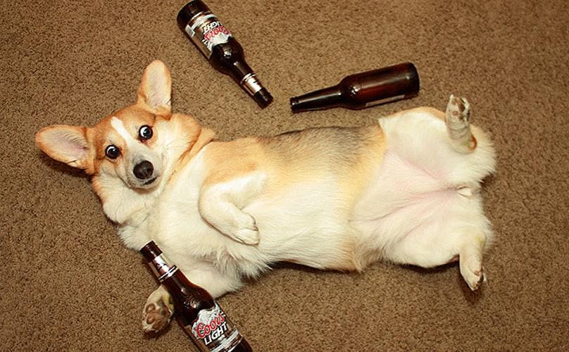 anjing mabuk