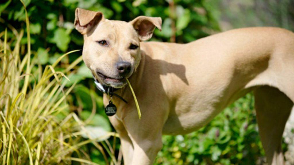 anjing memakan rumput