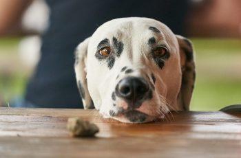 penyebab anjing muntah
