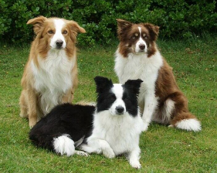 anjing border collie