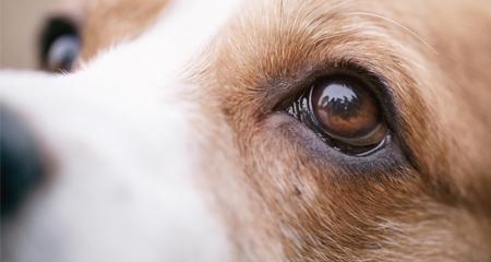mata anjing