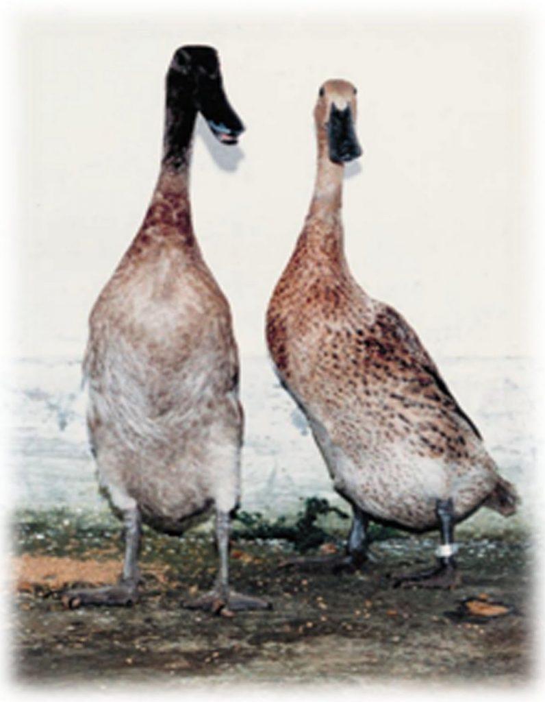 32++ Gambar hewan bebek hitam putih terupdate