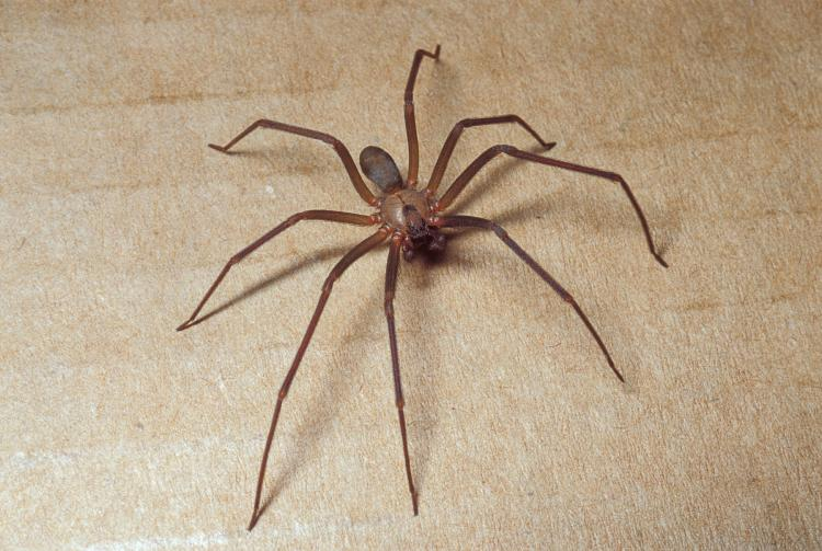 Brown Rescluse Spider