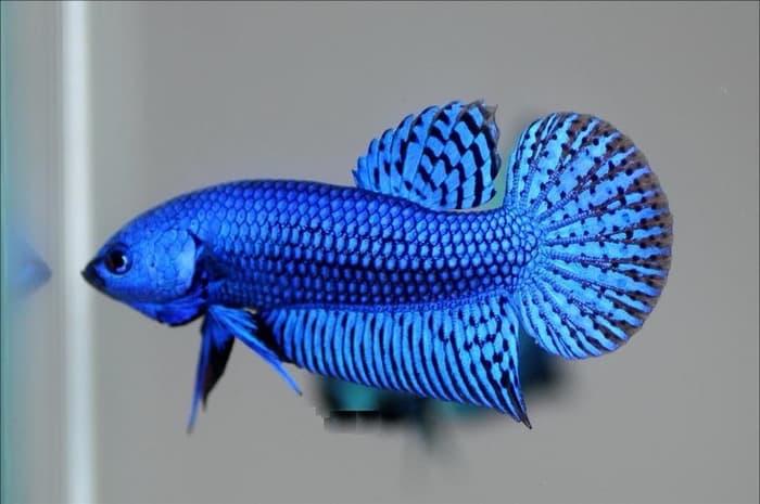 25 Jenis Ikan Cupang Tarung Dan Hias Terlengkap