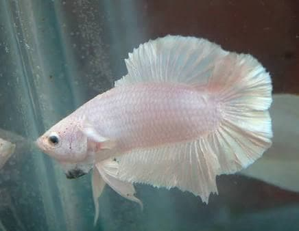 Ikan Cupang Double Tail Betta