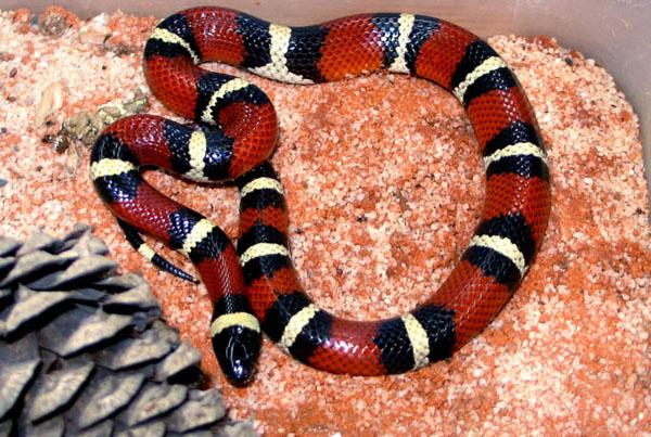milk snake