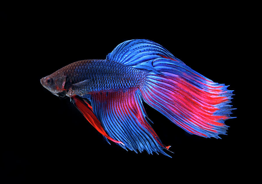 Siamase Fighting Fish