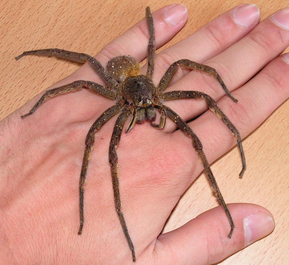 Wandering Spider Brazil