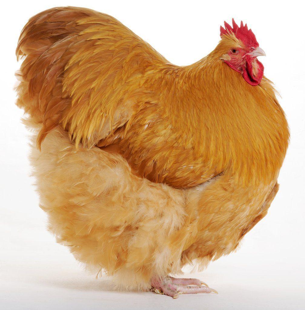 ayam Orpington
