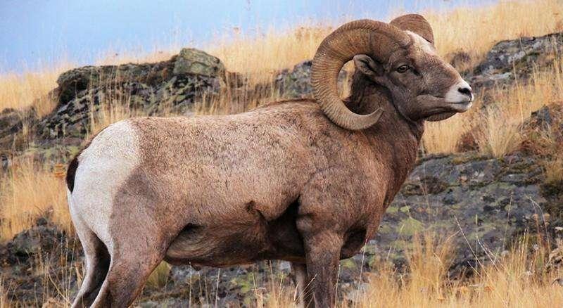 domba bighorn
