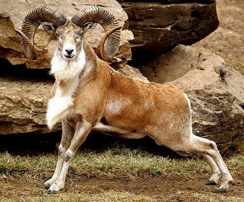 domba Urial