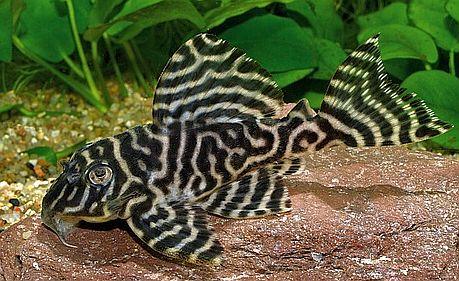 ikan sapu sapu tiger