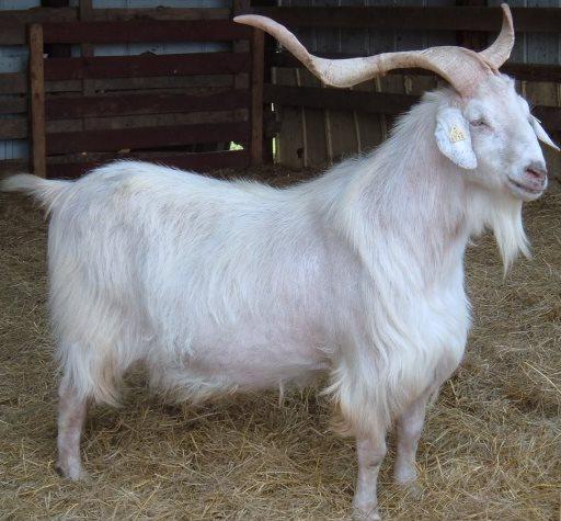 kambing kiko
