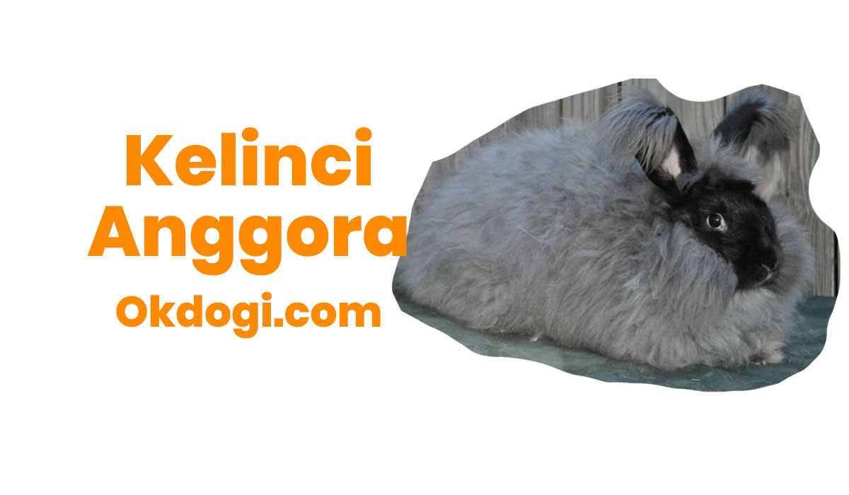 Kelinci Anggora : Ciri, Cara Merawat & Harga