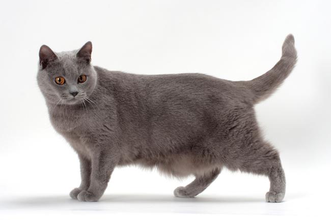 kucing Chartreux