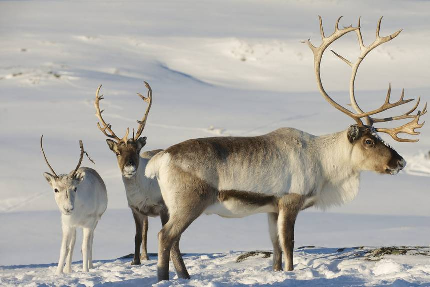 rusa Reindeer