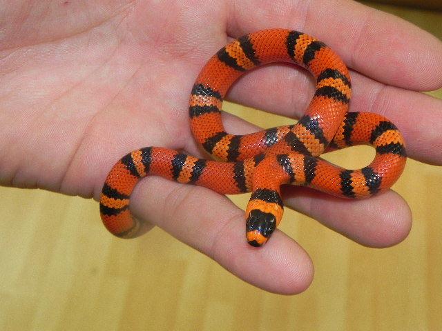 ular Honduran Milk