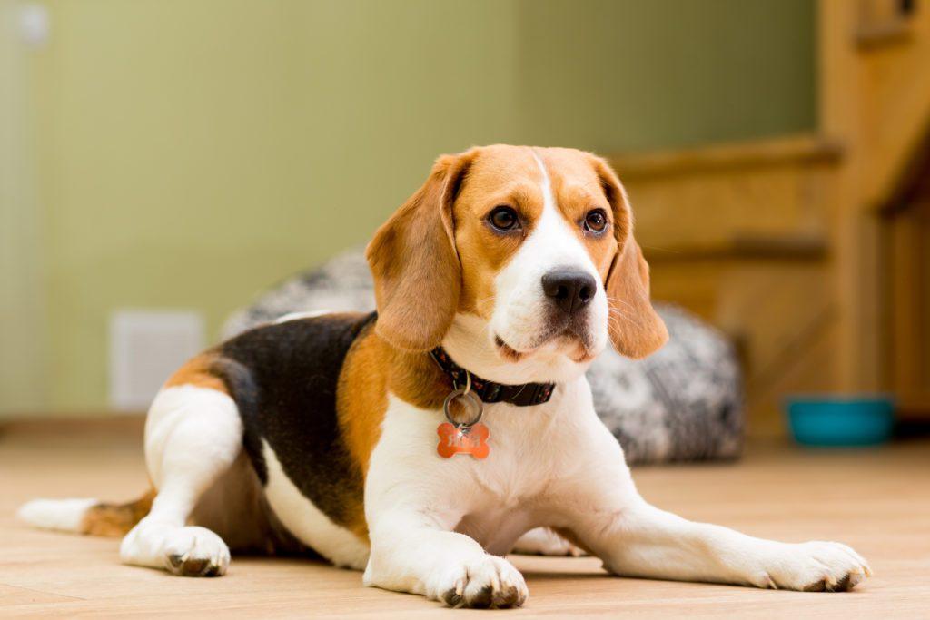 karakter anjing beagel