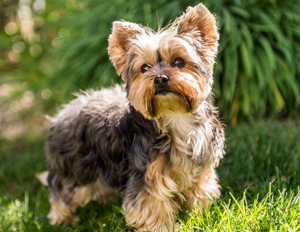 karakter yorkshire terrier