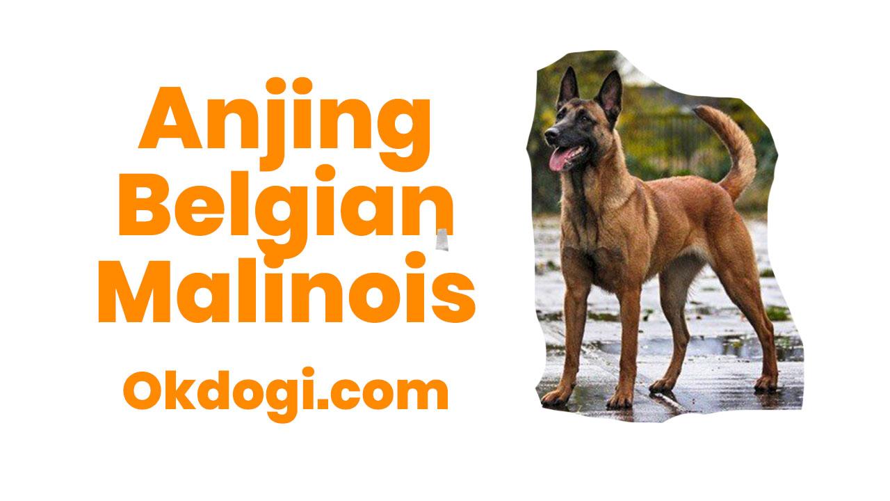 anjing belgian malinois