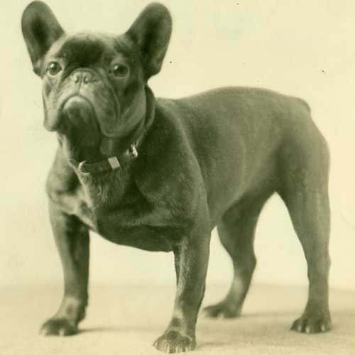 sejarah french bulldog