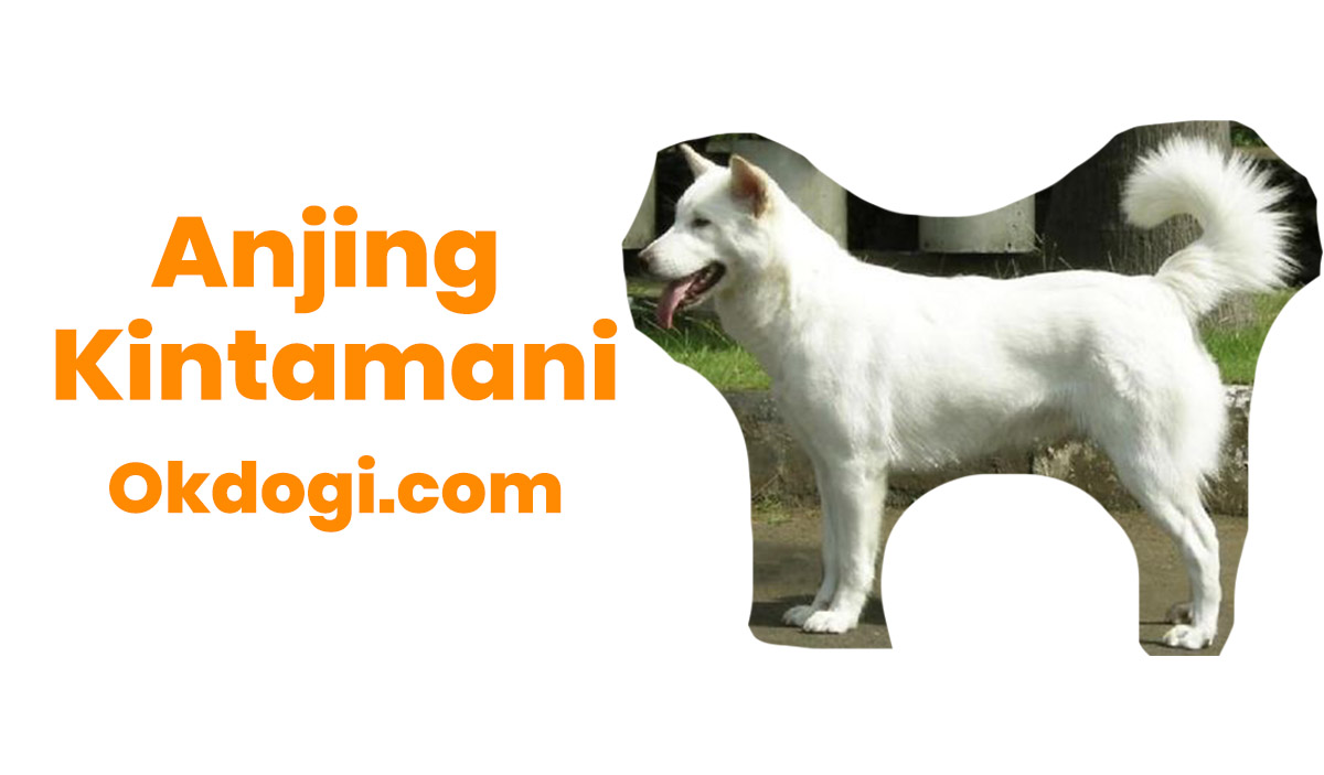 Anjing Kintamani : Harga Terbaru, Perawatan dan Karakter