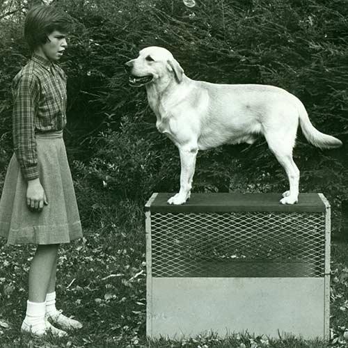 sejarah anjing labrador