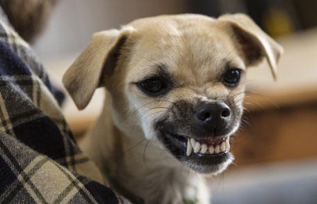 anjing marah