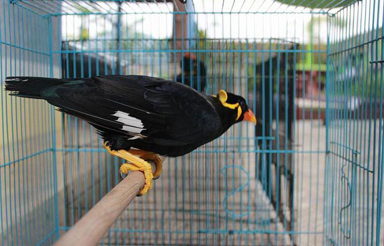 burung beo di kandang