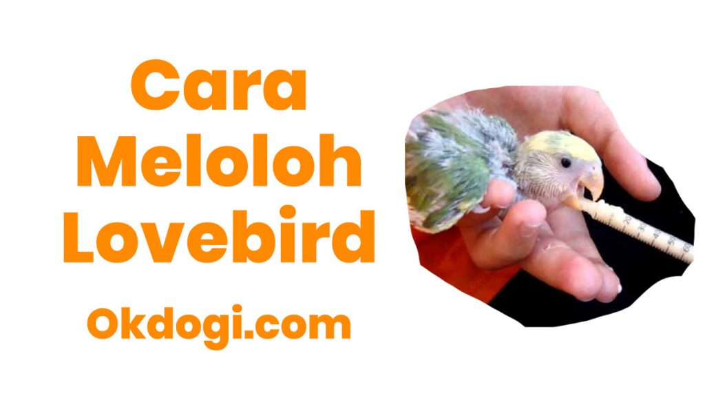 cara meloloh anakan lovebird