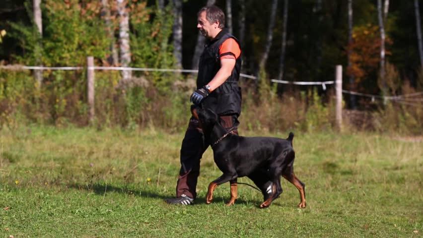 perawatan anjing doberman