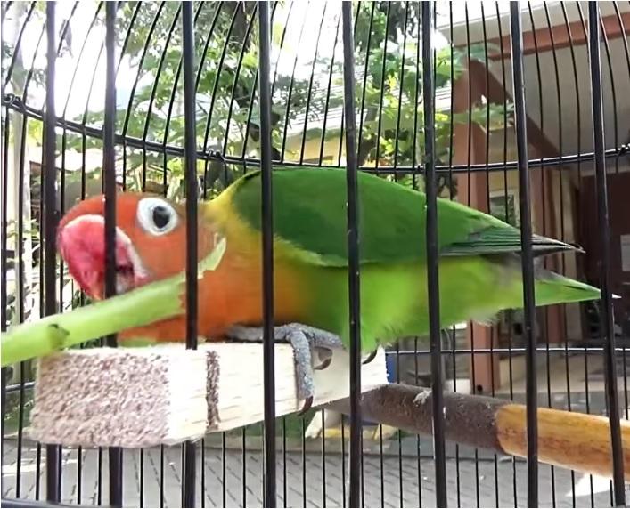 khasiat kangkung untuk lovebird