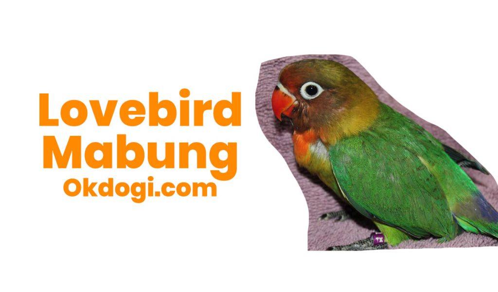 lovebird mabung