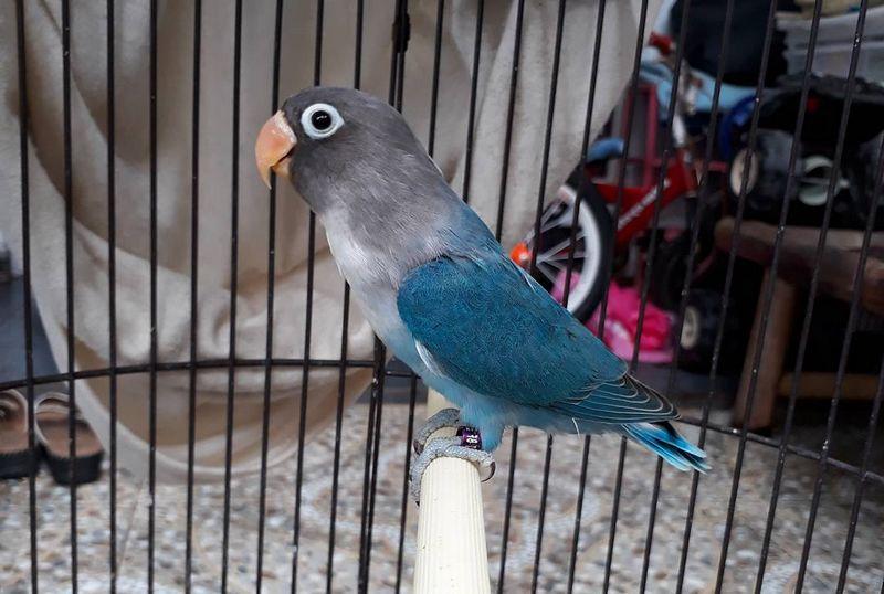 lovebird mangsi