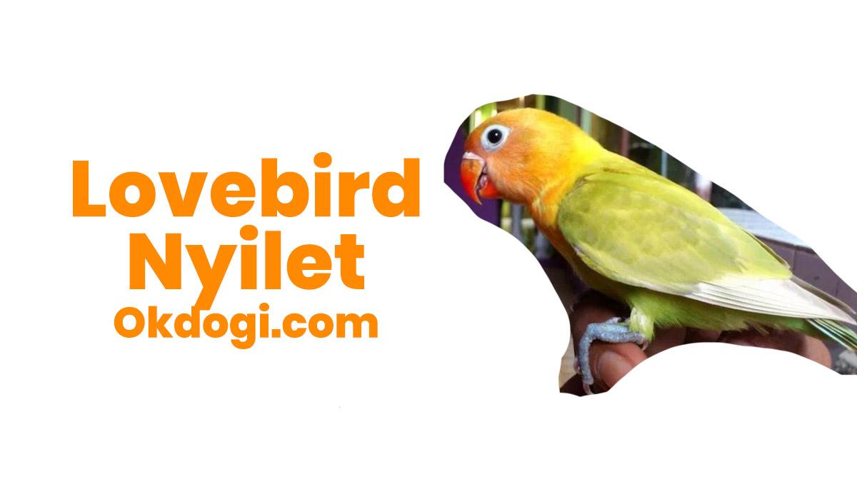 Penyebab dan Cara Mengobati Lovebird Nyilet, MANTUL!