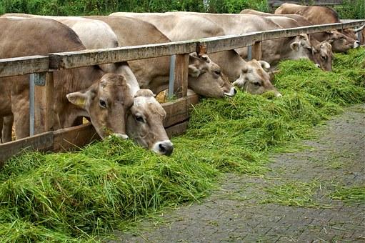 pakan sapi ternak