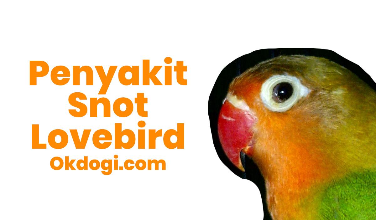 Cara Menyembuhkan Penyakit Mata Snot Lovebird, MANTAP!