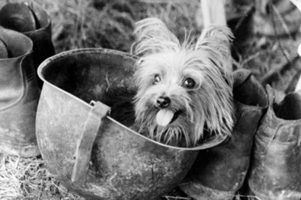 sejarah yorkshire terrier